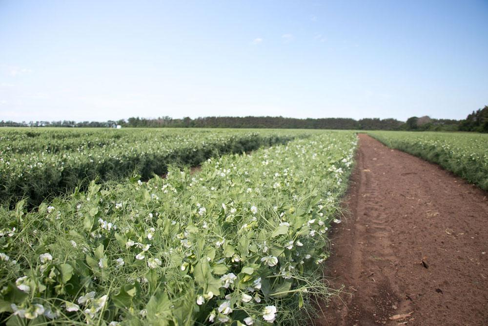 Pure Line Seeds